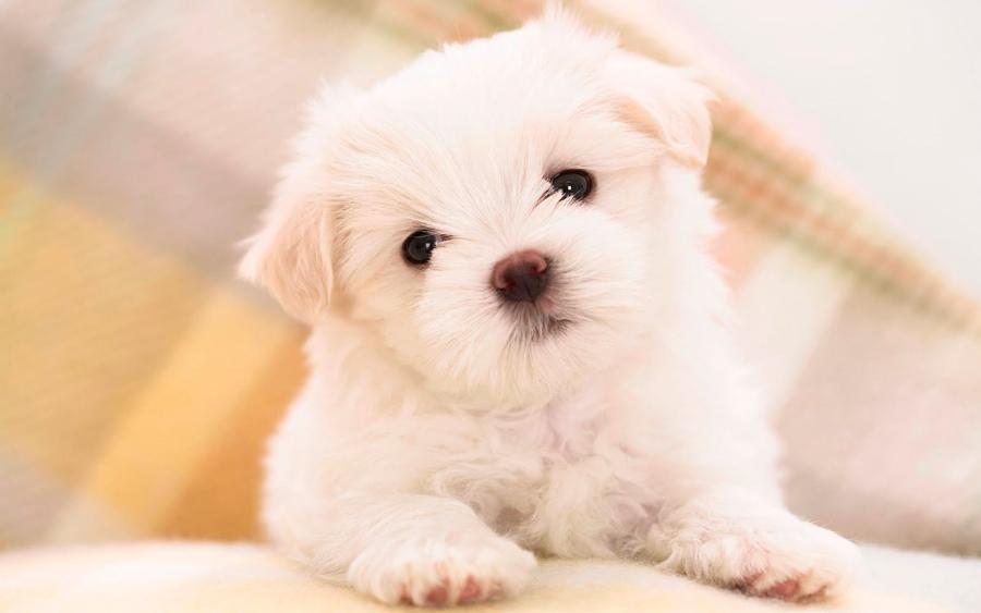 cachorro_razas