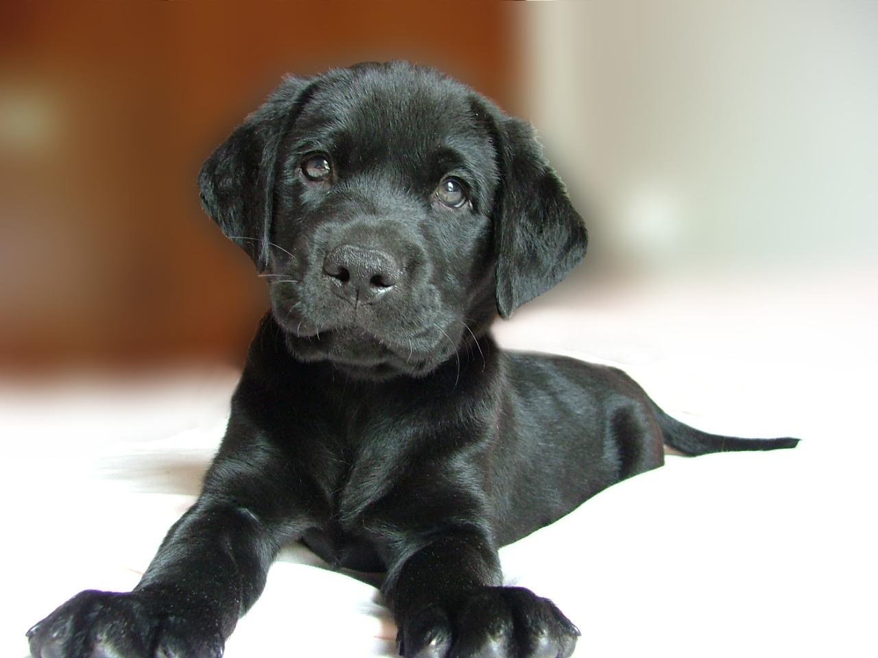 labrador_cachorro